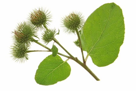 Flowering Great Burdock  Arctium lappa  against a white background Stock Photo - 15194504