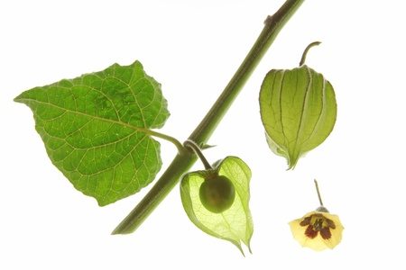 Cape Gooseberry  Physalis peruviana , leaf, fruit and blosom isolated against a white background Stock Photo