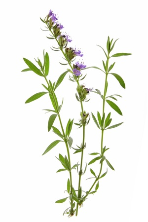 hyssop: Hyssop  Hyssopus officinalis  - twigs with leaves and flowers against a white background