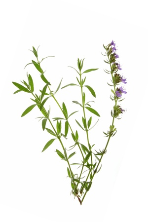 Hyssop Hyssopus officinalis - twigs with leaves and flowers against a white background