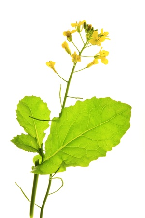 canola plant: flowering Canola plant  Brassica napus , isolated before a white background