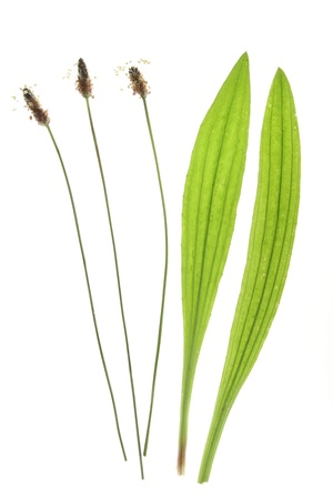 plantain: Ribwort plantain  Plantago lanceolata  flowers and leaves against a white background