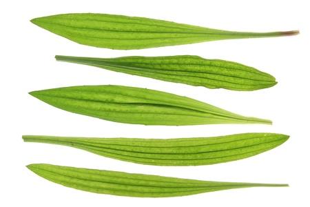 Ribwort plantain  Plantago lanceolata  leaves against a white background