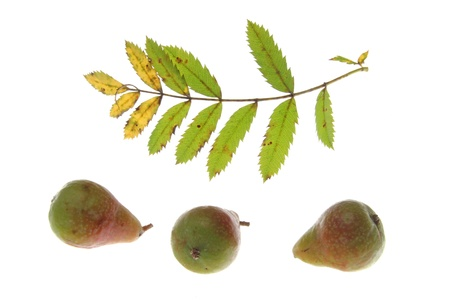 sorb: Leaf and fruits of the sorb tree  Sorbus domestica , in front of a white background