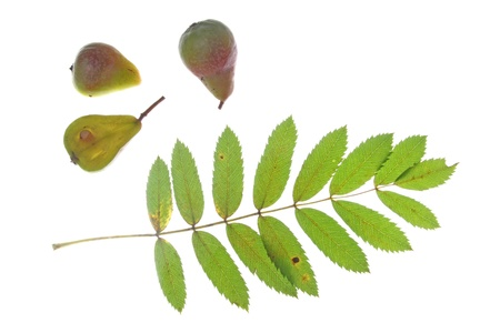 Leaf and fruits of the sorb tree  Sorbus domestica , in front of a white background