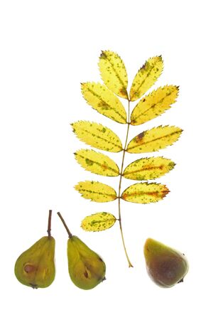 Leaf and fruits of the sorb tree  Sorbus domestica , in front of a white background photo