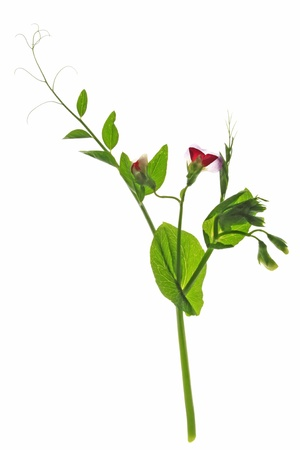 sweet pea: Blooming sweet pea  Pisum sativum  with blossom and tendrils isolated against a white background