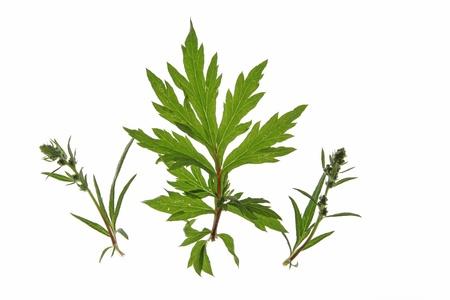 Common mugwort  Artemisia vulgaris  isolated against a white background