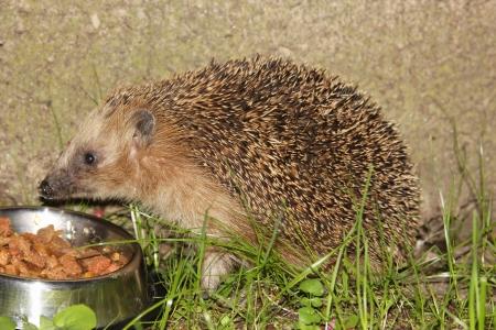 West European Hedgehog  Erinaceus europaeus  photo