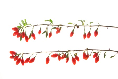 lycium: Ripe berries of the wolfberry or goji plant  Lycium barbarum , isolated in front of white background Stock Photo
