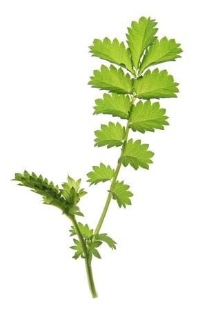 sanguisorba: Small burnet  Sanguisorba minor , leaf against a white background