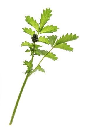sanguisorba: Small burnet  Sanguisorba minor , leaves against a white background Stock Photo