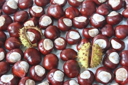 Horse chestnuts  Aesculus hippocastanum Stock Photo - 15449911
