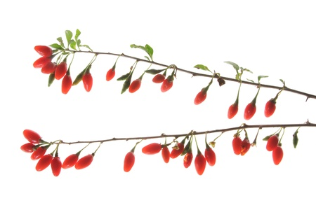 lycium: Ripe berries of the Goji plant (Lycium barbarum) isolated in front of white background