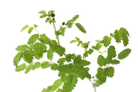 sanguisorba: Small burnet     Sanguisorba minor  , isolated against a  white background