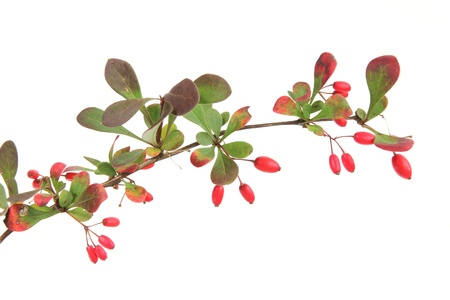 Little twig of barberry   Berberis vulgaris   with ripe fruits, in front of white background