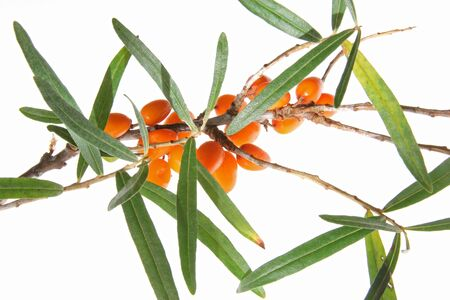 Common sea buckthorn  Hippophae rhamnoides, twigs with ripe berries against white background Stock Photo - 15585313