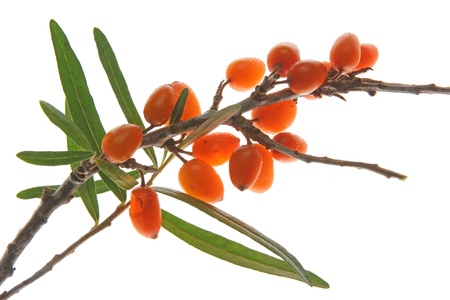 Common sea buckthorn  Hippophae rhamnoides , twigs with ripe berries against white background Stock Photo