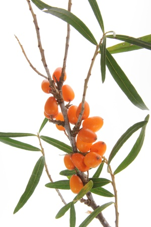 Common sea buckthorn  Hippophae rhamnoides , twigs with ripe berries against white background Stock Photo - 15585308