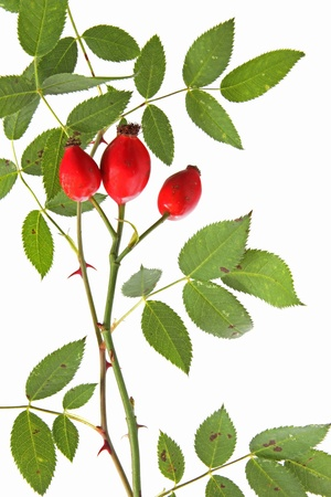 Rose hips of the wild rose  Rosa canina , little twigs with fruits against a white background Stock Photo - 15585314