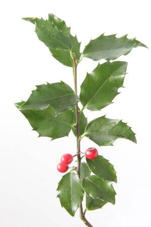 fruiting: European holly  Ilex aquifolium , fruiting twig against white background