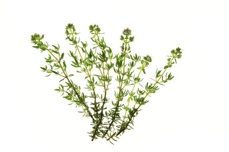 Flowering thyme  Thymus vulgaris  isolated against a white background photo