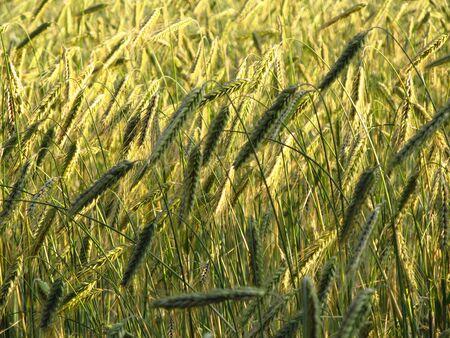nearly: nearly ripe corn in a field in Germany Stock Photo