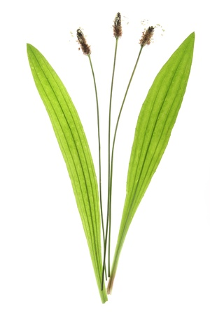 Ribwort plantain  Plantago lanceolata  flowers and leaves against a white background  photo