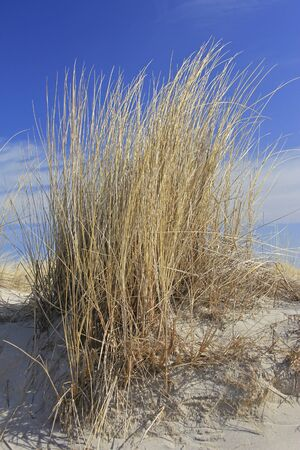 Beach grass on a dune on the Baltic Sea