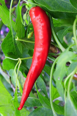 Ripe red peppers on a plant in the garden Stock Photo - 16729627