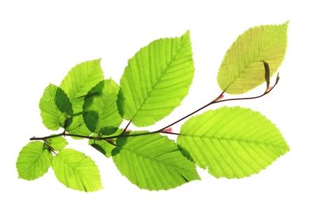 hornbeam: Branch of a hornbeam tree  Carpinus betulus  isolated in front of white background