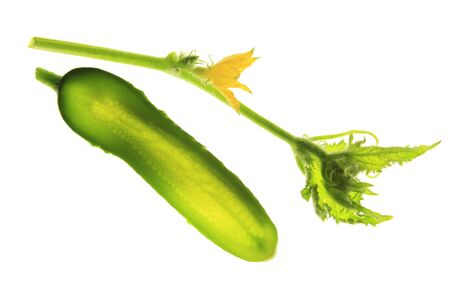 cucumis sativus: Cucumber  Cucumis sativus  isolated in front of white background with a flowering tendril Stock Photo