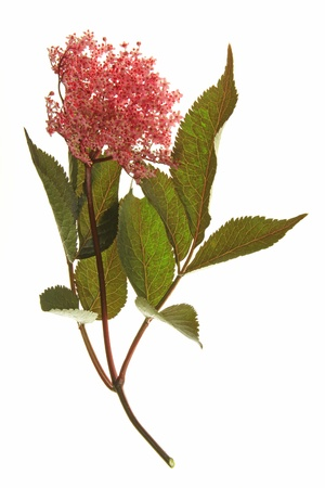 Red flowering black elder  Sambucus nigra , with flowers and leaves, in front of a white background Stock Photo - 17521440