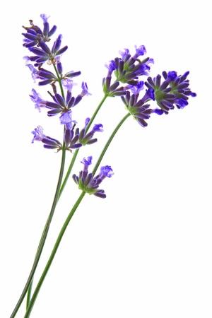 lavanda: Lavandula angustifolia flores de lavanda antes de un fondo blanco