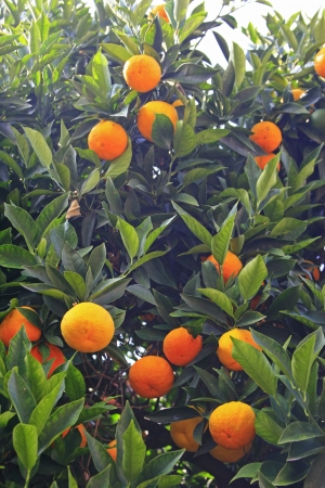 Ripe tangerines on a tree  Citrus reticulata  Stock Photo - 17780670