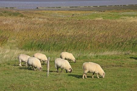 tortillera: el pastoreo de ovejas en un dique en el Mar del Norte, Frisia oriental, Baja Sajonia, Alemania