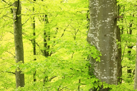 fagaceae: Beech forest in the Black Forest in spring, Germany