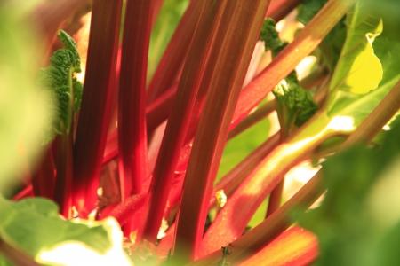 rheum: Rhubarb  Rheum rhabarbarum  in spring in the garden bed, close-up