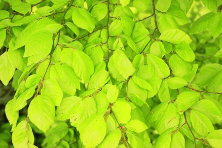 fagaceae: Fresh leaves of the common beech in spring  Fagus sylvatica , Black Forest, Baden-Wurttemberg, Germany