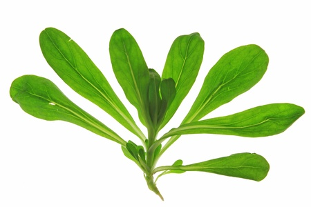 Isolated plant of corn salad  Valeria locusta  in front of white background Stock Photo