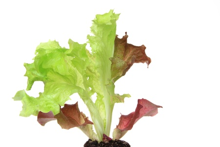 Salad seedling of leaf lettuce variety  Lollo Rosso   Lactuca sativa var  crispa , isolated inl front of white background photo
