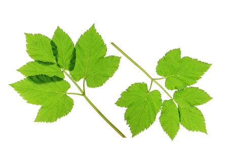 three leaved: Two leaves of ground elder  Aegopodium podagraria , isolated in front of white background