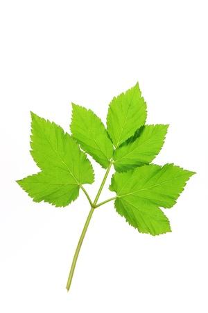 One leaf of ground elder  Aegopodium podagraria , isolated in front of white background