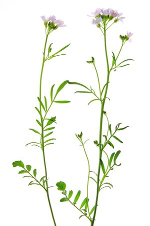 lady s: Floraci�n flor de cuco o lady s smock