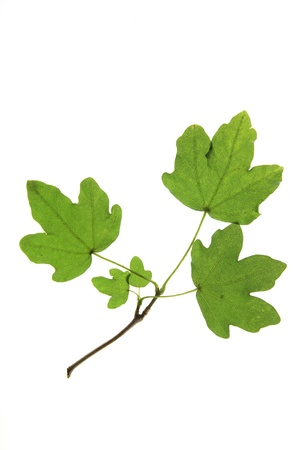 acer: Field maple  Acer campestre  branch with leaves against a white background
