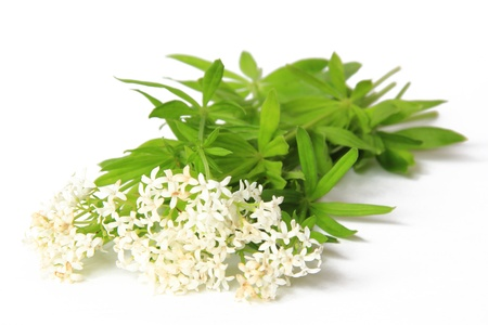 Flowering woodruff  Galium odoratum , isolated against a white background