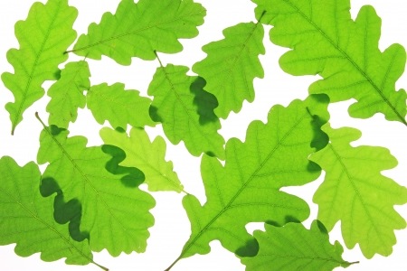 fagaceae: Oak leaves isolated against a white background  Quercus robur