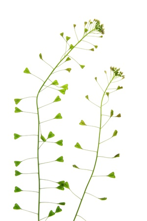 Shepherds purse  Capsella bursa-pastoris  photo