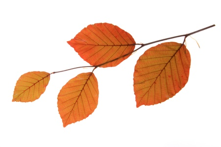 fagaceae: Copper beech (Fagus sylvatica f purpurea) - a small branch with fresh leaves in spring, isolated in front of white background