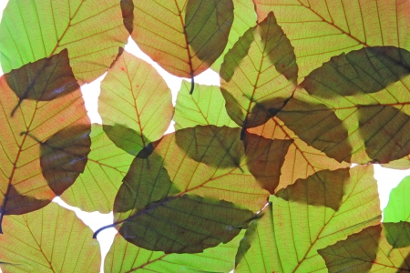 purpurea: Copper beech (Fagus sylvatica f purpurea) - fresh leaves in spring, isolated in front of white background